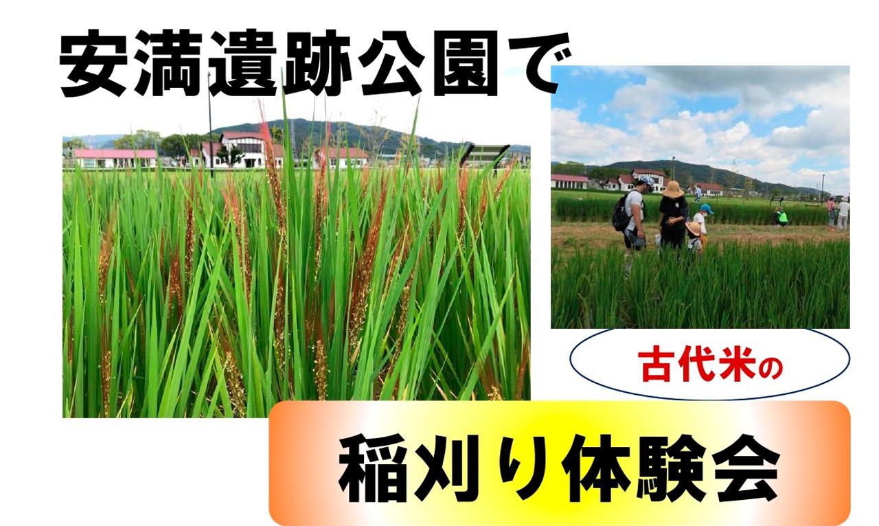 古代米稲刈り体験会